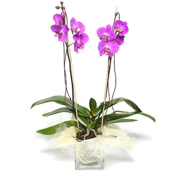 Orchidea radiosa rosa invio fiori online con le mani for Costo orchidea